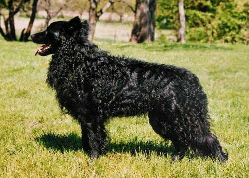Mudi dog breed