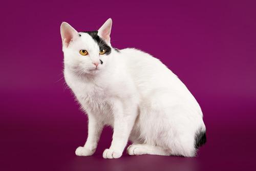 Japanese Bobtail cat breed