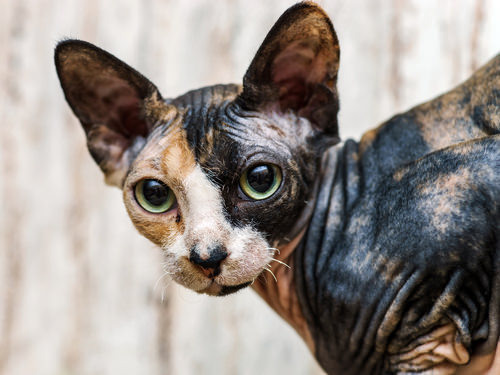 3 Sphynx 9 Exotic Cat Breeds You May Have Never Seen Before