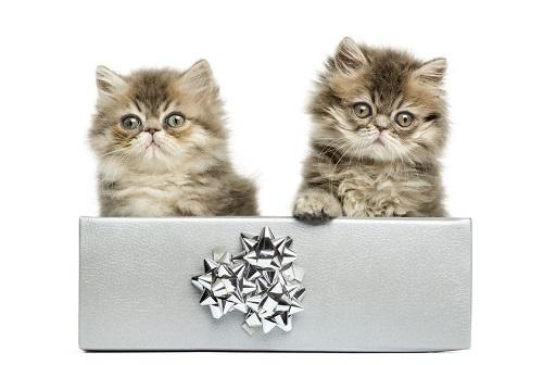 Teacup Persian cat breed