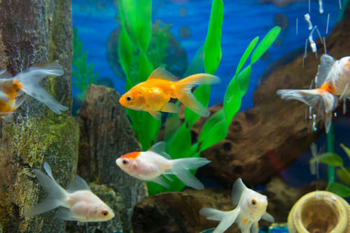 Caring for Your Goldfish