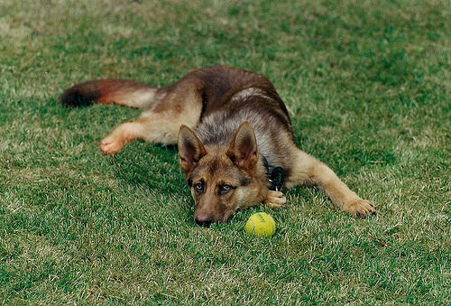 Dogs tend to eat grass to induce vomiting