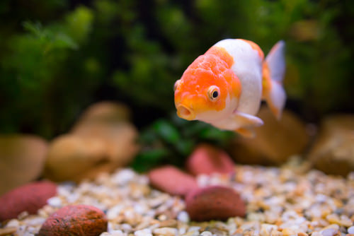 Important Tips for Caring for Your Goldfish