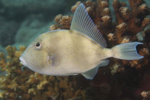 Trigger fish