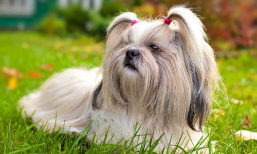 10 Cute Small Dog Breeds for Indoor Pets