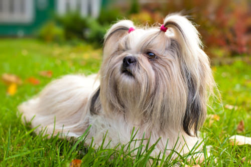 Small Dog Breeds for Indoor Pets
