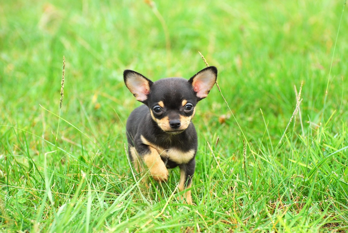 Chihuahuas are the oldest breed in North America