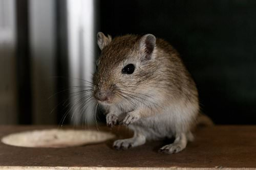 9 Must-Read Tips for Caring for Gerbils