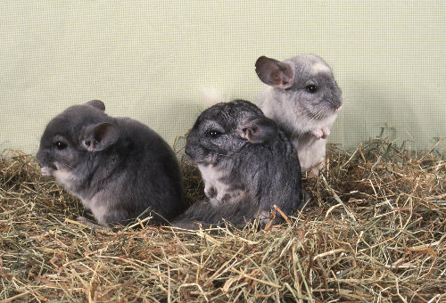 Giving your chinchilla a chance to socialize