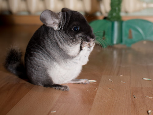 10 Important Tips for Caring for Chinchillas