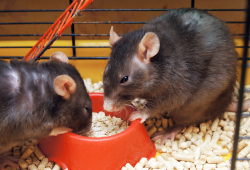 Important Tips for Caring for Mice and Rats