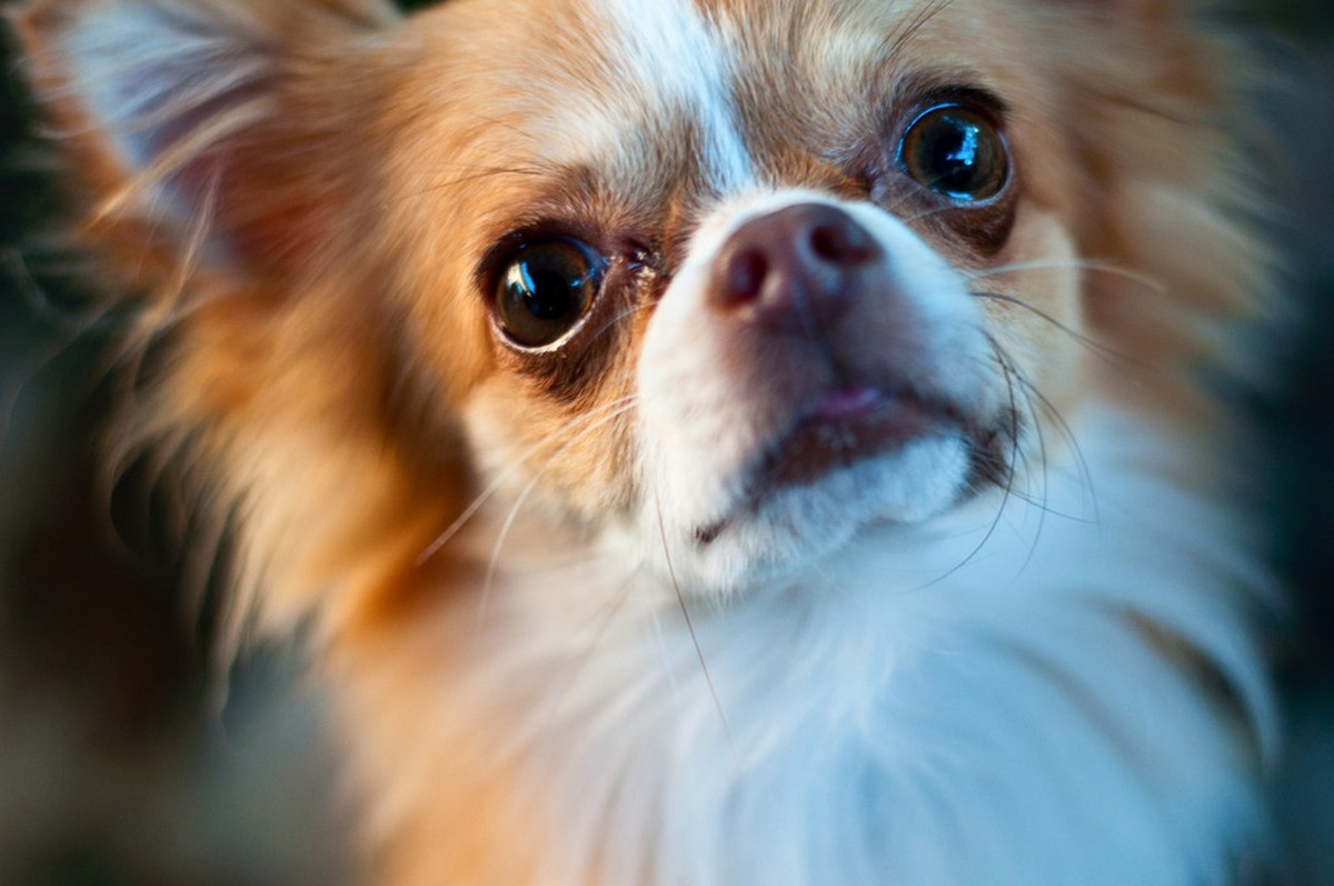 Interesting Facts about Chihuahuas