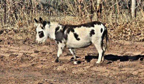 Miniature_Donkey