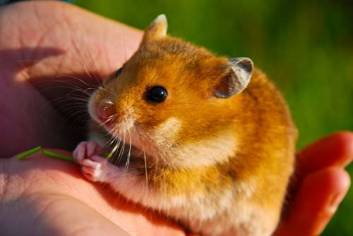 Most Dangerous People Foods for Hamsters