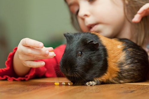 Safe and Unsafe Foods for Guinea Pigs