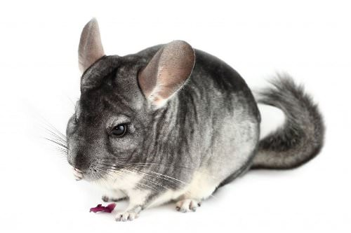 Socializing with your chinchilla