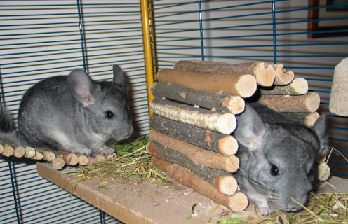 Your chinchilla needs a safe playpen