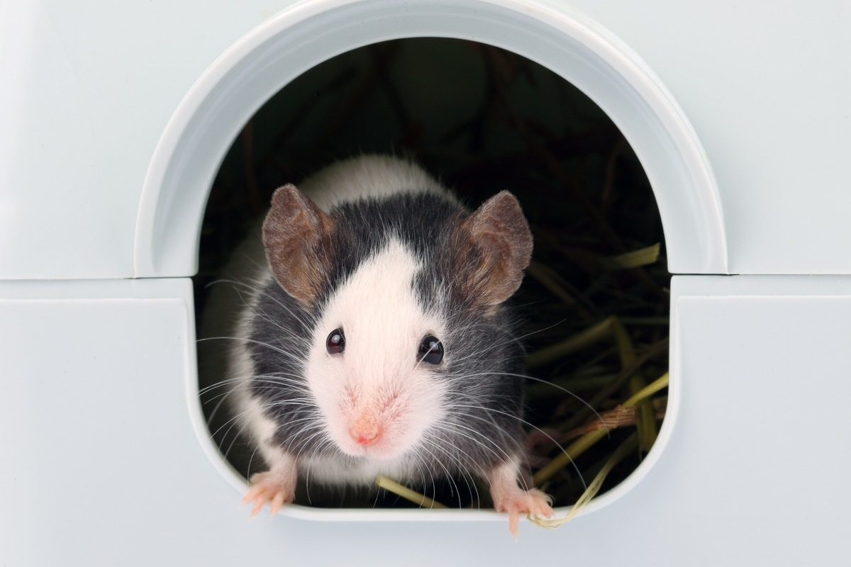 Basil - Mouse