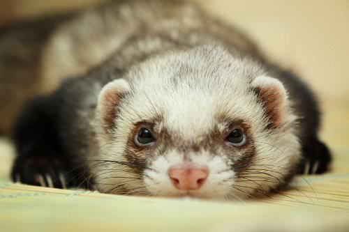 Benefits of Owning a Ferret