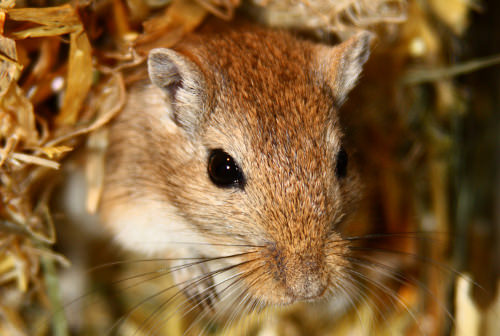 9 Benefits of Owning a Gerbil