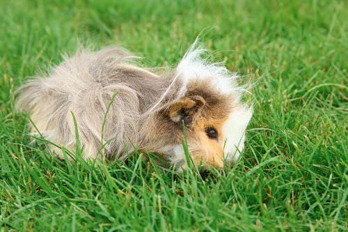 9 Wonderful Benefits of Owning a Guinea Pig