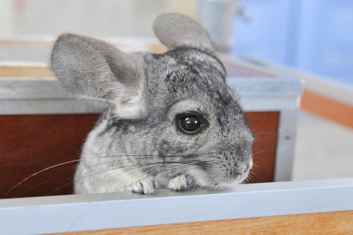 Chinchillas are beautiful