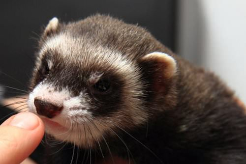 Ferret-proof whatever rooms your ferret shouldn't get into
