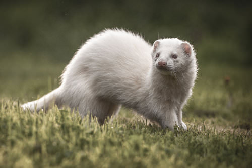 Ferrets are irresistibly cute