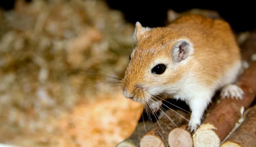 Gerbils are always active
