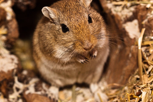Gerbils are easy to feed