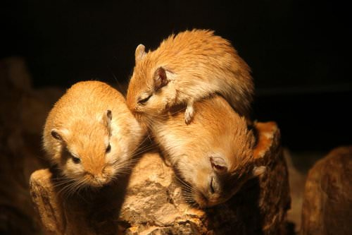Gerbils are one of the easiest kinds of pet to care for