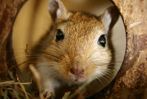 Gerbils have very fast-growing front teeth