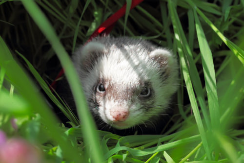 Give your ferret the darkness
