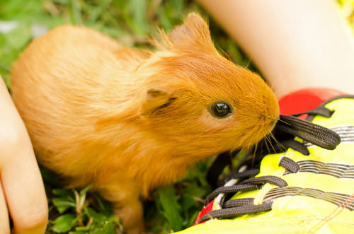 Guinea pigs are inexpensive pets
