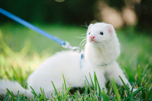 10 Important Tips for Caring for Ferrets