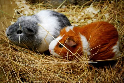 Important Tips for Caring for Guinea Pigs