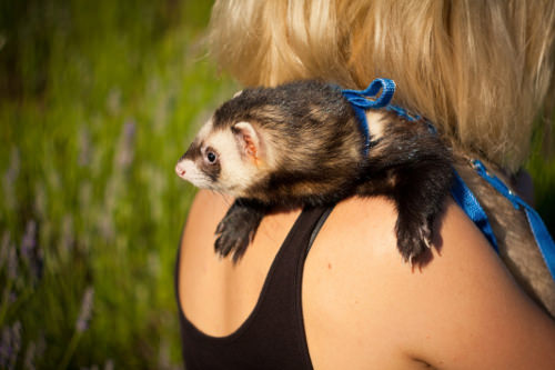 Know what you should feed your ferret