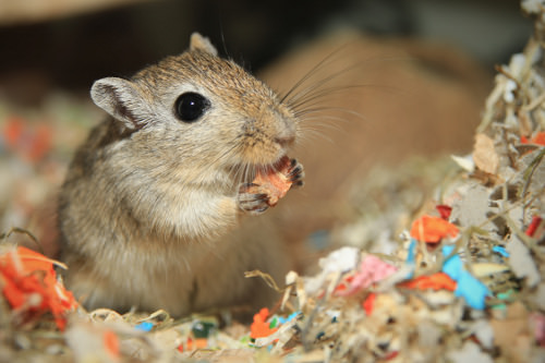 Make your gerbils' cage feel like home