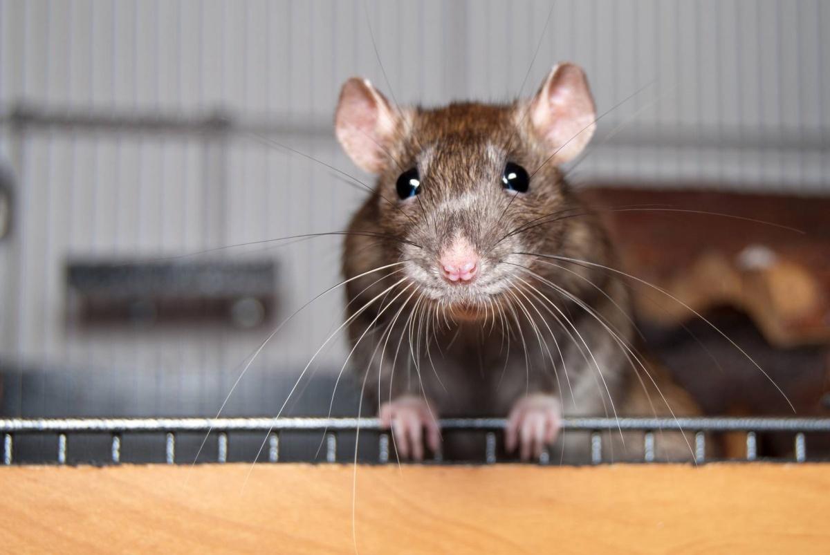 Nicodemus Rat