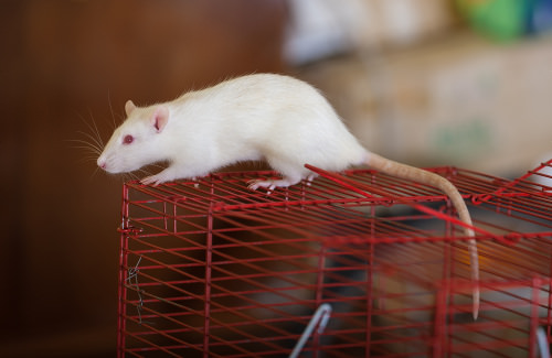 Pet Names for Mice and Rats
