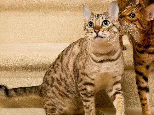 Pet Staircases