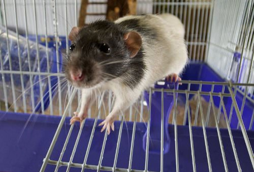 Rats are loyal and affectionate