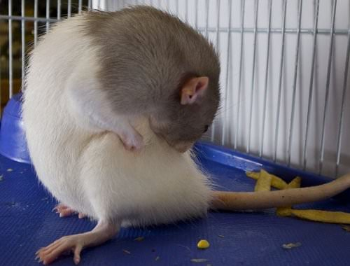 Rats are about the cleanest creatures