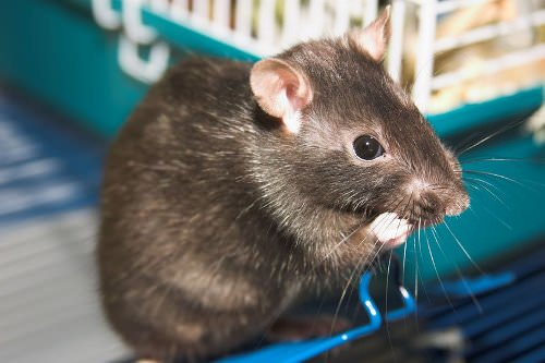 Rats are very easy to care for