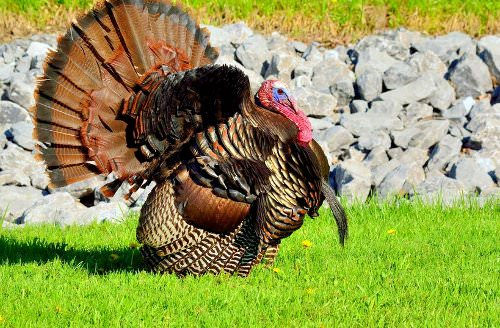 9 Tips for Raising Turkeys as Pets