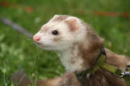 Train your ferret