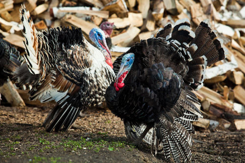 f883041a0a 6. You may need a permit to raise a turkey - 9 Tips for Raising ...