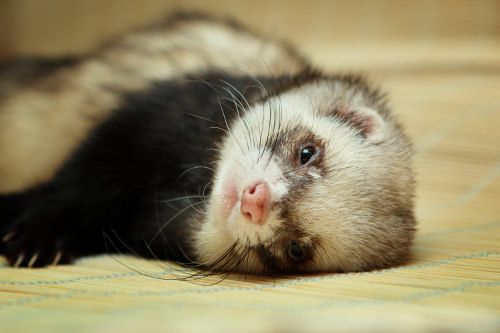 You must only get a ferret