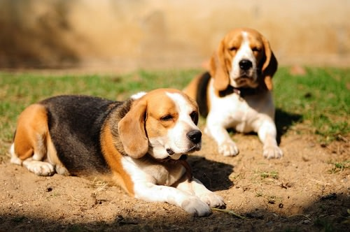 Most Interesting Facts about Beagles