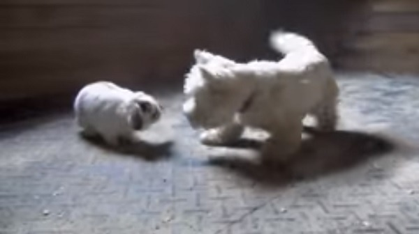 LOL! Cute Westie and Brave Rabbit Are Playing Catch Me If You Can (Video)